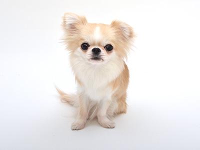 動物プロダクション,エムドッグス,タレント犬,チワワ,こま