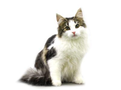 エムドッグス,動物プロダクション,ペットモデル,ペットタレント,モデル猫,タレント猫,ノルウェージャンフォレストキャット,ベル