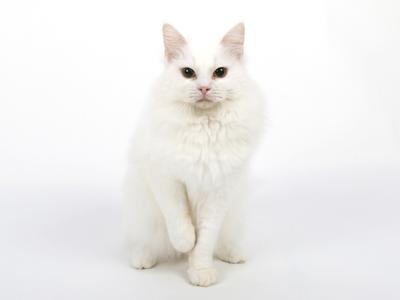 エムドッグス,動物プロダクション,ペットモデル,ペットタレント,モデル猫,タレント猫,マンチカン,雪