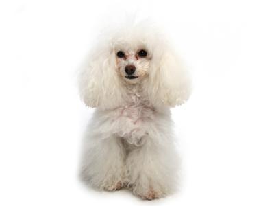 エムドッグス,動物プロダクション,ペットモデル,ペットタレント,モデル犬,タレント犬,トイプードル,アメリ