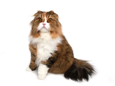 エムドッグス,動物プロダクション,ペットモデル,ペットタレント,モデル猫,タレント猫,スコティッシュフォールド,小豆,こまめ