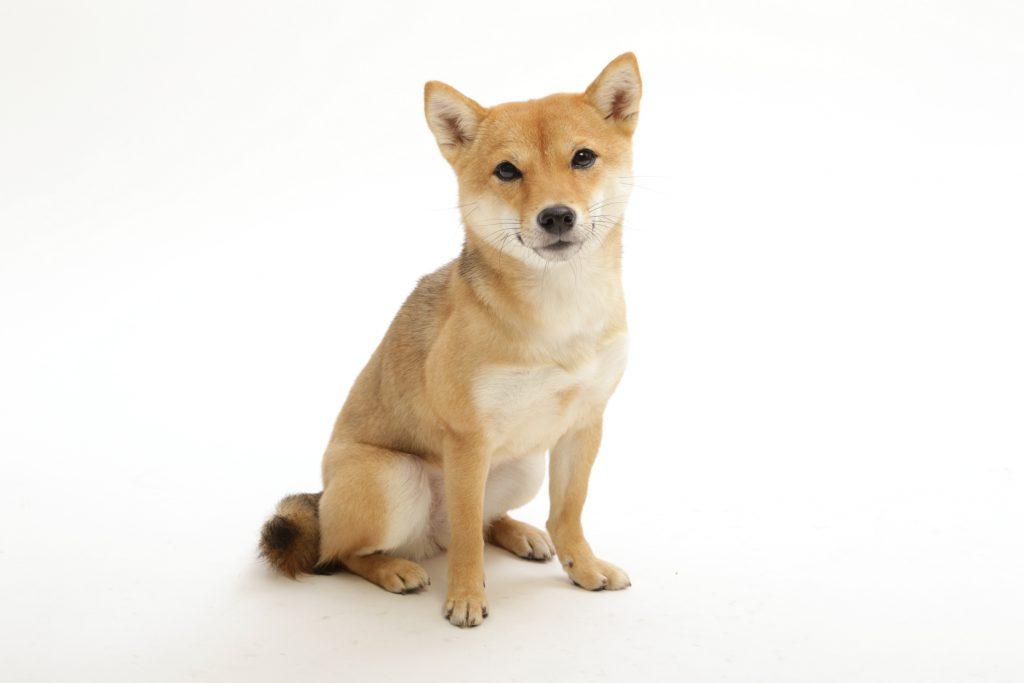 動物プロダクション エムドッグス ペットモデル 柴犬 信乃