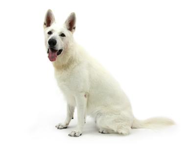 エムドッグス,動物プロダクション,ペットモデル,ペットタレント,モデル犬,タレント犬,ホワイトスイスシェパード,クリプト