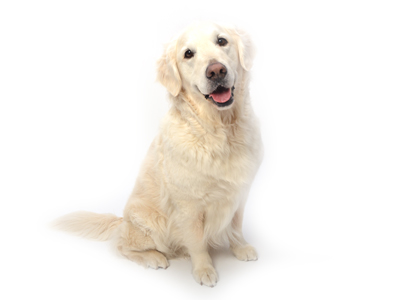 エムドッグス,動物プロダクション,ペットモデル,ペットタレント,モデル犬,タレント犬,ゴールデンレトリバー,ピース