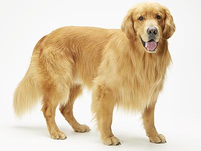 動物プロダクション,エムドッグス,タレント犬,ゴールデンレトリーバー,ゼウス