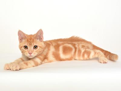 ペットモデル,動物プロダクション,エムドッグス,タレント猫,モデル猫,アメリカンショートヘア,こてつ