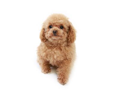 エムドッグス,動物プロダクション,ペットモデル,ペットタレント,モデル犬,タレント犬,トイプードル,つきみ