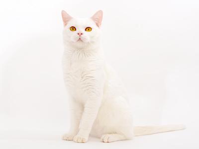 エムドッグス,ペットモデル,動物プロダクション,タレント猫,アメリカンショートヘア,大福