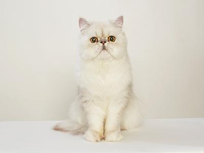 エムドッグス,ペットモデル,動物プロダクション,モデル猫,ペルシャ,ちぢみ