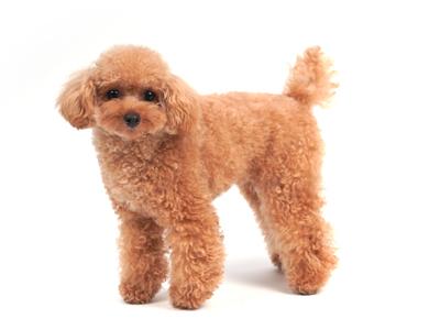 エムドッグス,動物プロダクション,ペットモデル,ペットタレント,モデル犬,タレント犬,トイプードル,ウィル