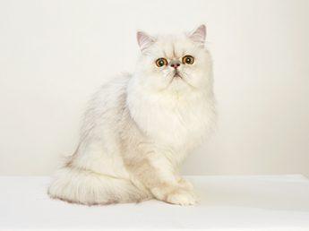 エムドッグス,動物プロダクション,ペットモデル,モデル猫,ペルシャ猫,ちぢみ