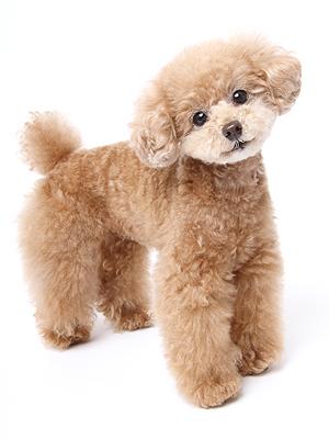エムドッグス,動物プロダクション,ペットモデル,モデル犬,タレント犬,トイプードル,プリン