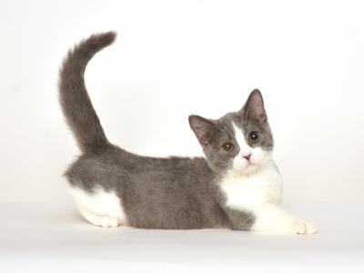 エムドッグス,動物プロダクション,ペットモデル,タレント猫,モデル猫,スコティッシュフォールド,たわし