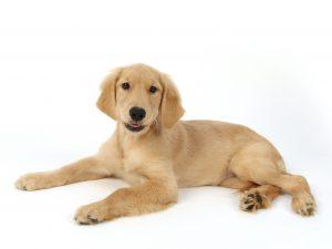 エムドッグス,動物プロダクション,ペットモデル,タレント犬,ゴールデンレトリバー,ルア