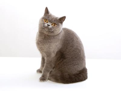 エムドッグス,動物プロダクション,ペットモデル,ペットタレント,モデル猫,タレント猫,ブリティッシュショートヘア,ピオン