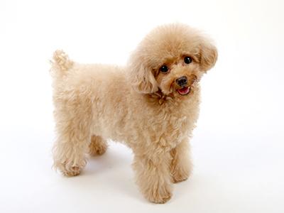 エムドッグス,動物プロダクション,ペットモデル,ペットタレント,モデル犬,タレント犬,トイプードル,ぴの