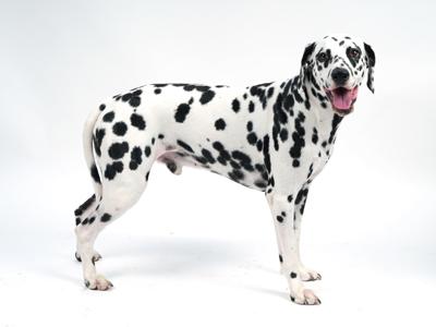 エムドッグス,動物プロダクション,ペットモデル,ペットタレント,モデル犬,タレント犬,ダルメシアン,Manu