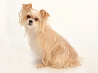 エムドッグス,動物プロダクション,ペットモデル,ペットタレント,モデル犬,タレント犬,ミックス犬,モモ