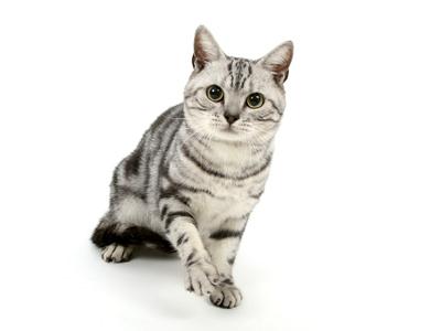 エムドッグス,動物プロダクション,ペットモデル,ペットタレント,モデル猫,タレント猫,アメリカンショートヘア,けんぴ