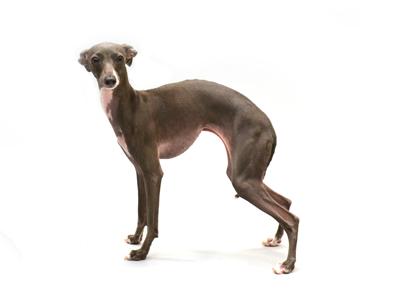エムドッグス,動物プロダクション,ペットモデル,ペットタレント,モデル犬,タレント犬,イタリアングレイハウンド,Lino,りの