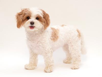 エムドッグス,動物プロダクション,ペットモデル,ペットタレント,モデル犬,タレント犬,ミックス,めめ