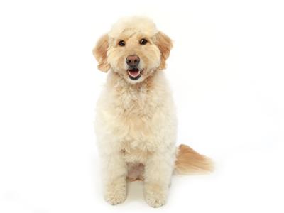 エムドッグス,動物プロダクション,ペットモデル,ペットタレント,モデル犬,タレント犬,ゴールデンドゥードル,アグリ