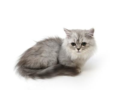 エムドッグス,動物プロダクション,ペットモデル,ペットタレント,モデル猫,タレント猫,ミヌエット,はな丸