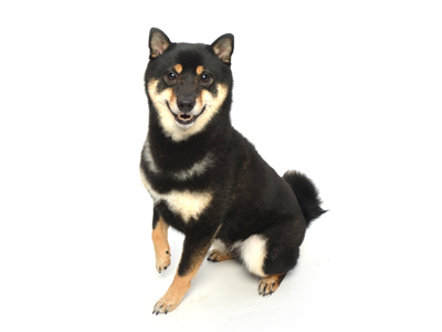 エムドッグス,動物プロダクション,ペットモデル,ペットタレント,モデル犬,タレント犬,柴犬,こたろう