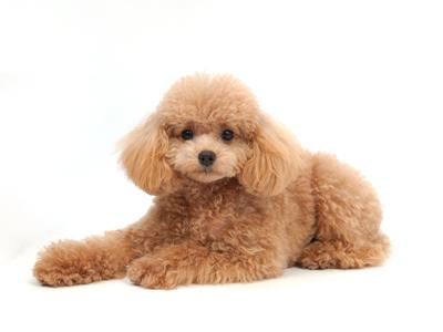 エムドッグス,動物プロダクション,ペットモデル,ペットタレント,モデル犬,タレント犬,トイプードル,ちょこ