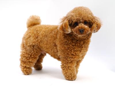 エムドッグス,動物プロダクション,ペットモデル,ペットタレント,モデル犬,タレント犬,トイプードル,のの