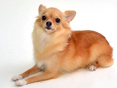 エムドッグス,動物プロダクション,ペットモデル,ペットタレント,モデル犬,タレント犬,チワワ,アリス