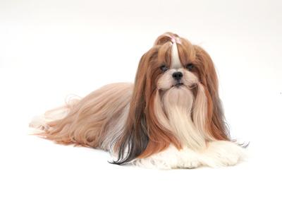 エムドッグス,動物プロダクション,ペットモデル,ペットタレント,モデル犬,タレント犬,シーズー,ジャスミン