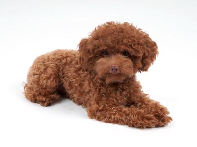 エムドッグス,動物プロダクション,ペットモデル,ペットタレント,モデル犬,タレント犬,トイプードル,ククル