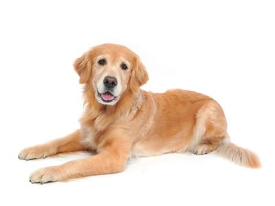 エムドッグス,動物プロダクション,ペットモデル,ペットタレント,モデル犬,タレント犬,ゴールデンレトリバー,かおる