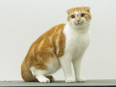 エムドッグス,動物プロダクションペットモデル,ペットタレント,モデル猫,タレント猫,スコティッシュフォールド,チャーミー