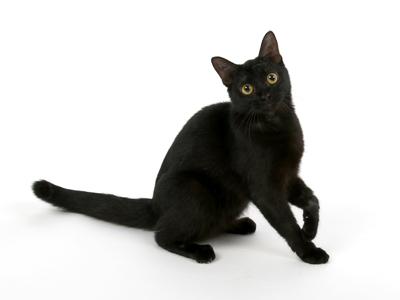 エムドッグス,動物プロダクション,ペットモデル,ペットタレント,モデル猫,タレント猫,マンチカン,あくまちゃん