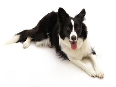 エムドッグス,動物プロダクション,ペットモデル,ペットタレント,モデル犬,タレント犬,ボーダーコリー,ルビー