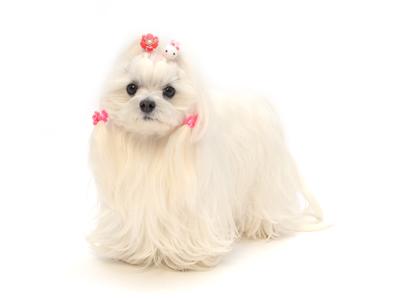 エムドッグス,動物プロダクション,ペットモデル,ペットタレント,モデル犬,タレント犬,マルチーズ,モカ