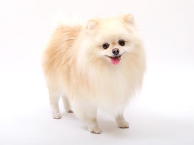 エムドッグス,動物プロダクション,ペットモデル,ペットタレント,モデル犬,タレント犬,ポメラニアン,トト