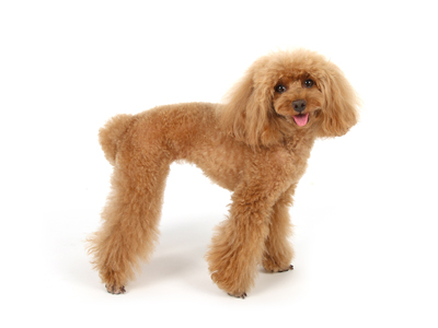 エムドッグス,動物プロダクション,ペットモデル,ペットタレント,モデル犬,タレント犬,トイプードル,しぇり