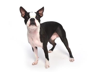 エムドッグス,動物プロダクション,ペットモデル,ペットタレント,モデル犬,タレント犬,ボストンテリア,BOSS