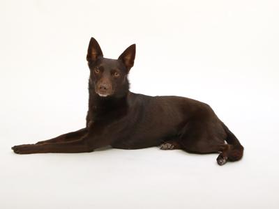 エムドッグス,動物プロダクション,ペットモデル,ペットタレント,モデル犬,タレント犬,オーストラリアンケルピー,鈴,りん