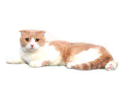 エムドッグス,動物プロダクション,ペットモデル,ペットタレント,モデル猫,タレント猫,スコティッシュフォールド,みるく