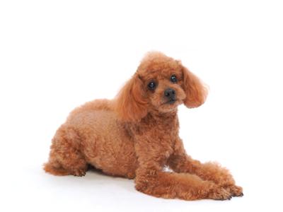 エムドッグス,動物プロダクション,ペットモデル,ペットタレント,モデル犬,タレント犬,トイプードル,かんぺい