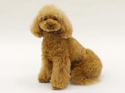 エムドッグス,動物プロダクション,ペットモデル,ペットタレント,モデル犬,タレント犬,トイプードル,Purin,プリン