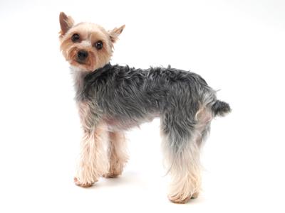 エムドッグス,動物プロダクション,ペットモデル,ペットタレント,モデル犬,タレント犬,ヨークシャーテリア,ルミエール