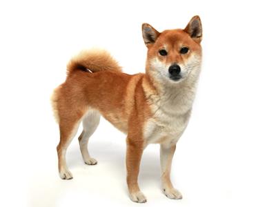 エムドッグス,動物プロダクション,ペットモデル,ペットタレント,モデル犬,タレント犬,柴犬,朱莉,しゅり