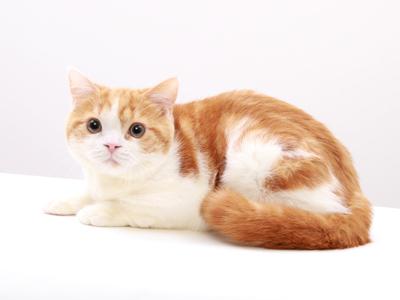 エムドッグス,動物プロダクション,ペットモデル,ペットタレント,モデル猫,タレント猫,スコティッシュフォールド,きなこ