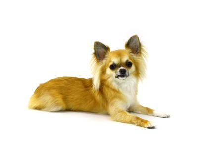 エムドッグス,動物プロダクション,ペットモデル,ペットタレント,モデル犬,タレント犬,チワワ,小梅
