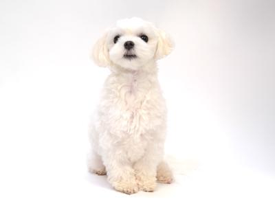 エムドッグス,動物プロダクション,ペットモデル,ペットタレント,モデル犬,タレント犬,マルチーズ,小梅,